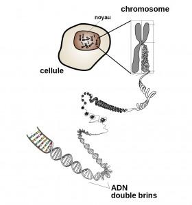 Chromosome_fr 2